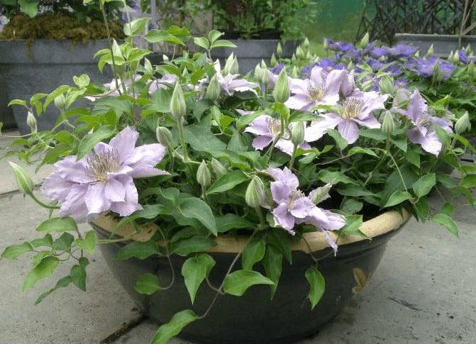 clematis filigree - kleine plant in een pot