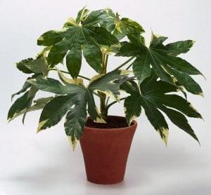 vingerplant - Fatsia Japonica