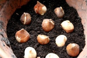 bloembollen - tulpen bollen poten in bloempot