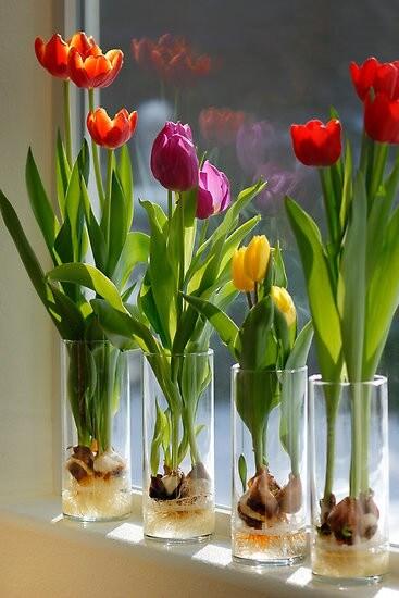 tulpen in een vaas - bollen in een vaas
