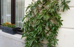 geveltuin met passiebloem passiflora