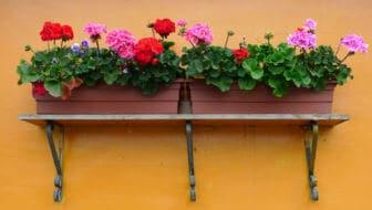 Tuinvraag: Geraniums in de winter afknippen of niet?