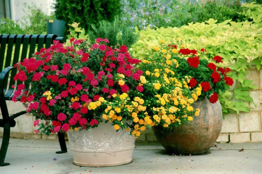 Geraniums niet aleen voor bejaarden tuin en balkon - Overwintering geraniums tips ...
