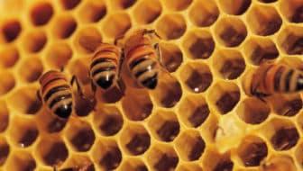 Wildgroei aan stadsimkers is een bedreiging voor wilde bijen