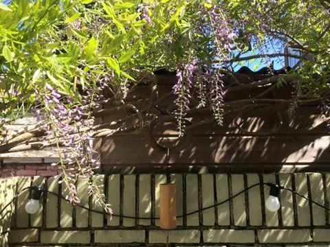 wisteria-blauweregen-in-bloei-copyright-tuinenbalkon-nl