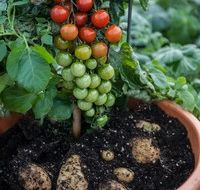 """Tomaten en aardappels aan 1 plant met de """"TomTato"""""""