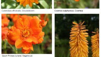 Oranjegekte in de tuin