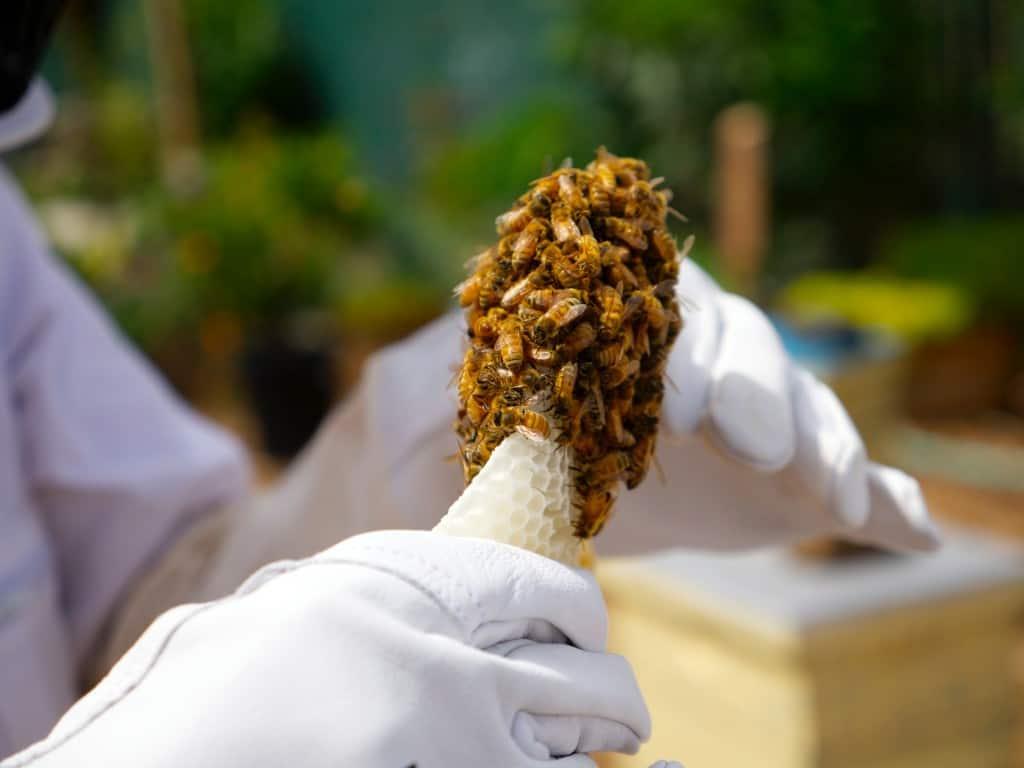 stuk raat met bijen in de hand van een imker
