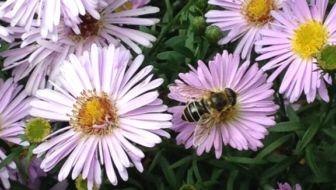Bijen in de tuin: welke planten zijn bij-vriendelijk?