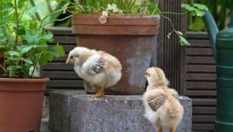 Kippen houden is een eitje met Kipster.nl