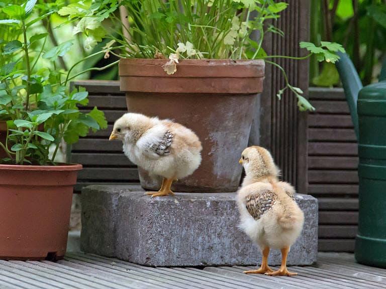Kippen Houden Is Een Eitje Met Kipsternl Tuin En Balkon