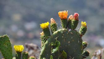 Waarom de cactus met uitsterven bedreigd wordt