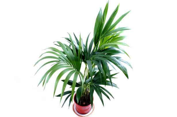 5 ideale kamerplanten voor in een donker huis tuin en balkon for Kentia pianta