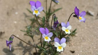 Tijd voor viooltjes