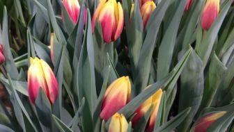 Zelf tulpen plukken in Zweden