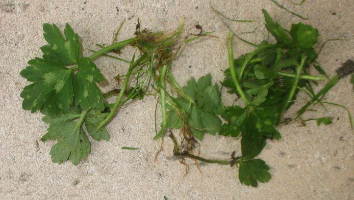 onkruid-in-gras-verwijderen