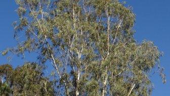 eucalyptusboom snoeien
