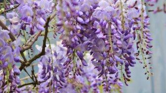Tuinvraag: Blauwe regen groeit niet