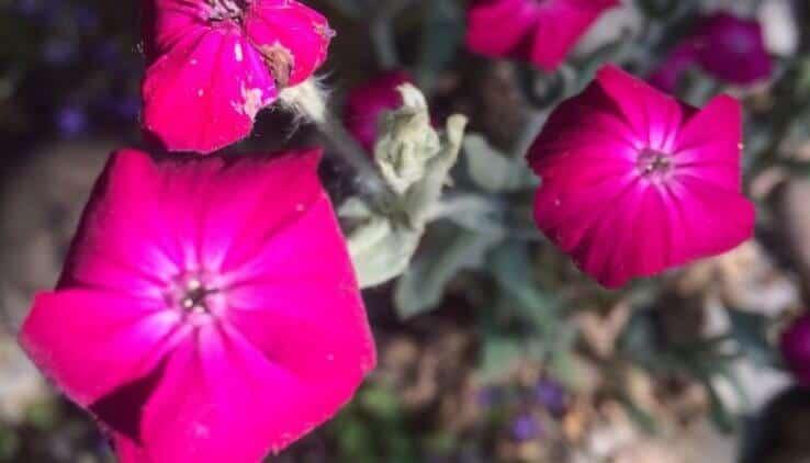 prikneus plant