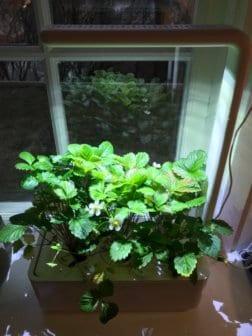 Click and Grow aardbeien kweken in de winter