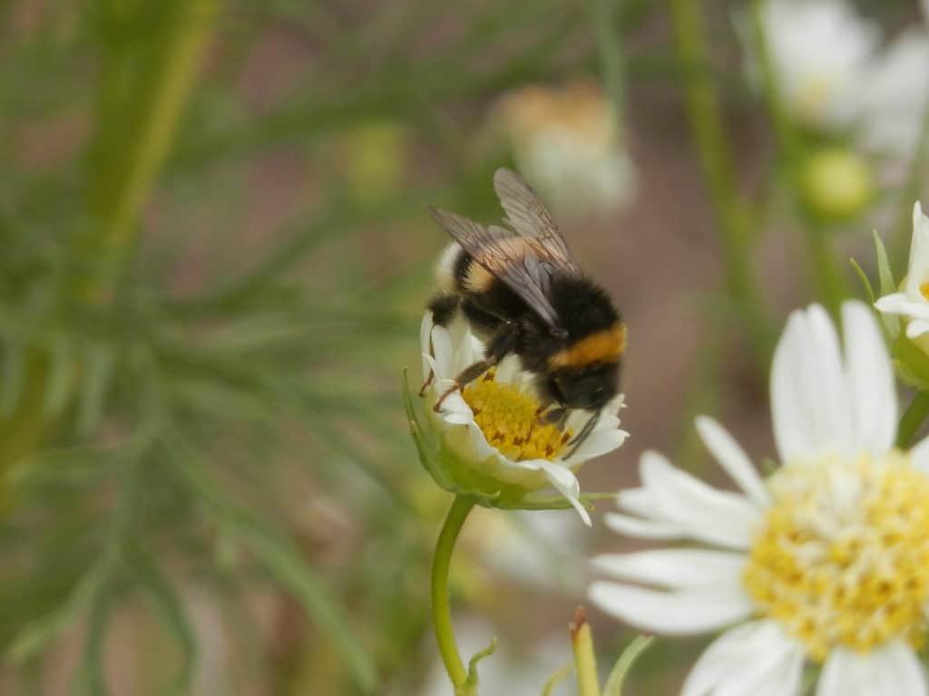 Cosmea. Enkelvoudige bloemen